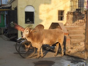 Indian cow in the sun (click to enlarge)