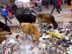 Border Cows, Nepal