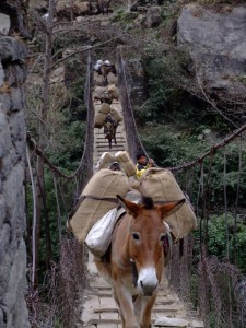 Mules on a suspension bridge in Nepal (click to enlarge)
