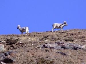 Stone Kicking Mountain Sheep in Nepal