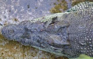 Giant crocodiles in Palawan