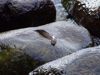 Strange Lung fish type creature in Sabang