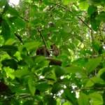 Monkey's grooming in Sabang