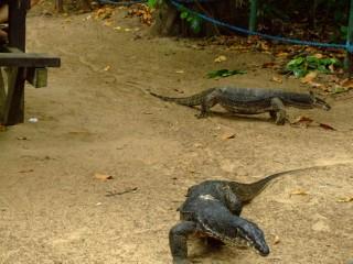 Monitor Lizards in Sabang