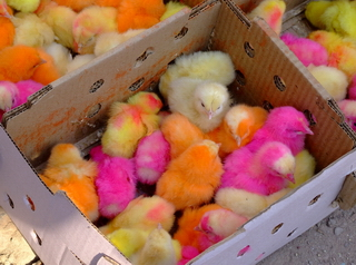 Colored chickens from Pakistan