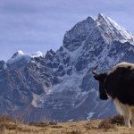 Dzo - Yak looking at mountain