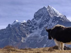 Dzo - Yak looking at mountain