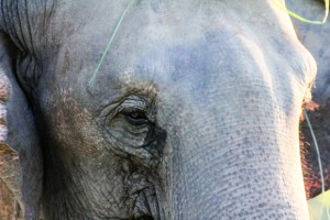 A Nepalese Elephant