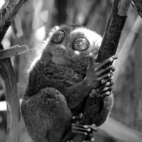 Tarsier in a Ray of Light - The Philippines