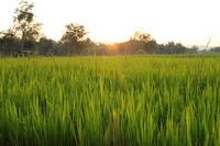 Rice Padi, Sukhothai, Thailand