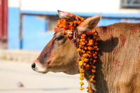 Cow covered in garlands in the Tihar festival in Nepal Tihar in Kathmandu
