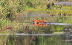Tiger at Bardia National Park Nepal
