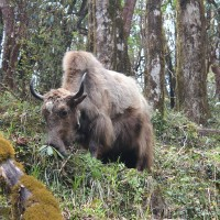 Yak on the Mardi Himal Trek, Nepal