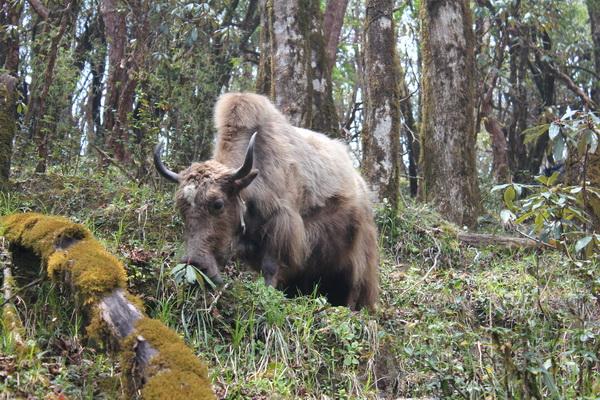 Yak on the Mardi Himal Trek, Nepal
