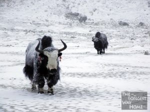 Yaks in the Winter Snow Everest Base Camp