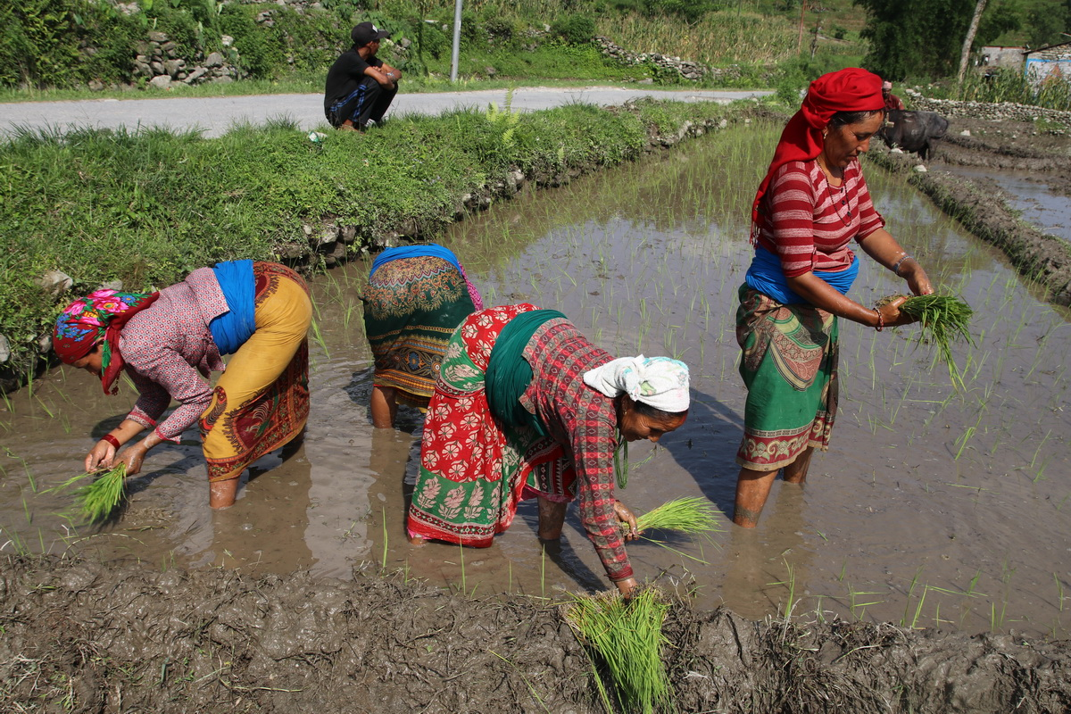 Rice planting in Nepal during the monsoon season