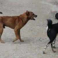 Street dogs fighting in Kathmandu