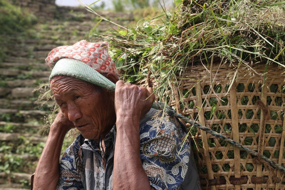 Farmer carrying Buffalo fodder in Panchase