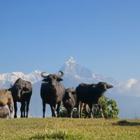 Buffalos under mountains at Panchase